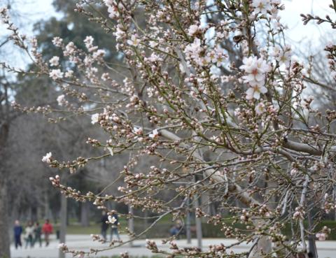 El jardín de los almendros en el Retiro